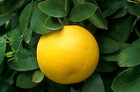 grapefruit, citrus, close-up, grapefruit tree, Phoenix, AZ, Arizona, Yellow grapefruit hangs onto a grapefruit tree in Phoenix.