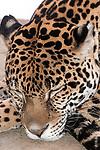 jaguar laying on large boulder sleeping, close-up of face, vertical