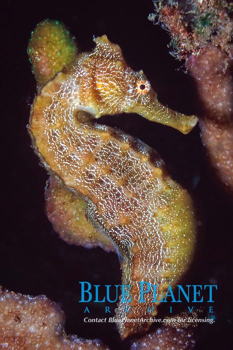 pacific sea horse, Hippocampus ingens, Galapagos Islands, Ecuador, Pacific Ocean