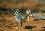 Long-tailed Ground Roller (Uratelornis chimaera) catching invertebrates in spiny forests near Ifaty. South west Madagascar. (Endangered)