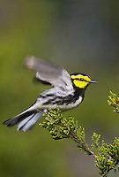 591850048v a wild male golden-cheeked warbler setophaga chrysoparia - was dendroica chrysoparia - an endangered species perches in a pine tree on mike murphy's los ebanos ranch in travis county texas united states