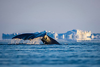 bowhead whale, Balaena mysticetus, fluke-up dive, traveling through an open lead in the pack ice, off the coastal village of Barrow, Alaska, Chukchi Sea, Arctic Ocean