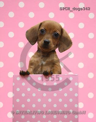 Xavier, ANIMALS, dogs, photos(SPCHdogs342,#A#) Hunde, perros