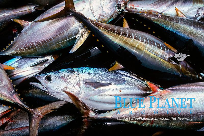 catch of skipjack tuna, Katsuwonus pelamis, and yellowfin tuna, Euthynus pelamis, thunnus albacares, San Diego, California, USA, East Pacific Ocean
