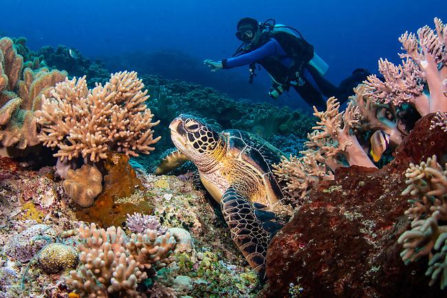 Green turtle, Chelonia mydas, on colorful reef, Apo Island, Philippines