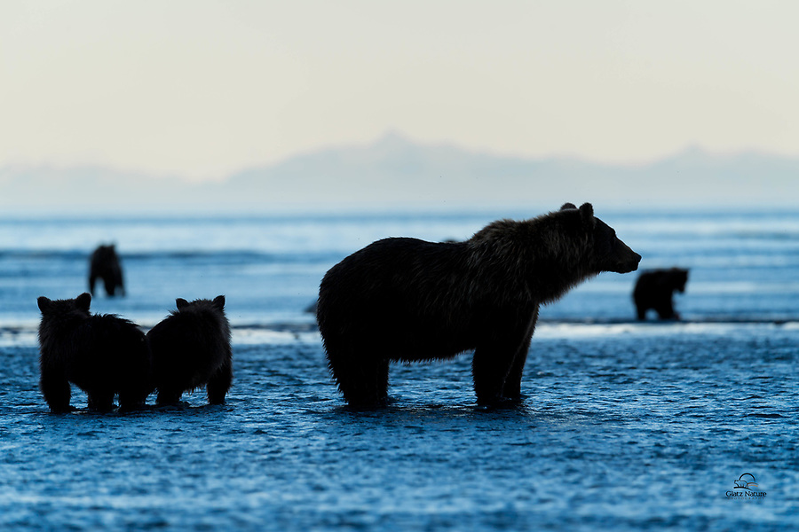 About 8:30 pm.  Tide starting to come back in.  The water is getting deeper but the fish are still there.  And this mother Brown Bear (Ursus arctos) and her two spring cubs are ready to continue dinner.  The cubs stayed close to mom here, since there were several other bears around.