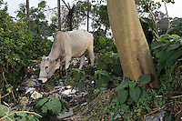 A cow grazes in littered field on the side of a highway in east Kolkata. The cow is seen as a holy and revered animal in Indian culture. However even cows are not safe from increasing pollution, especially in urban areas. India. November, 2013