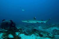 white-tip reef shark, Triaenodon obesus, Shark Point dive site, Gili Trawangan, Lombok, Indonesia, Pacific Ocean