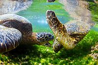 green sea turtle, Chelonia mydas, fighting, territorial dispute, endangered species, Laniakea Beach, Oahu, Hawaii, USA, Pacific Ocean