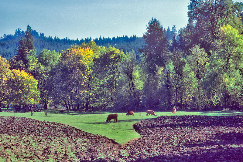 Pasture and cows with newly plowed field. Near Eugene, Oregon.