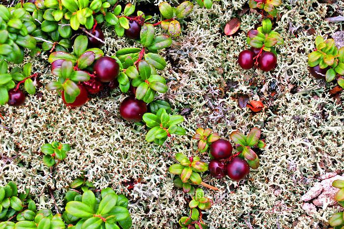 Wild Cranberries on Moss