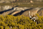 Lesser Rhea (Rhea pennata), Abra Granada, Andes, northwestern Argentina