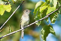 Eastern wood-pewee, Contopus virens perched on tree in summer, Nova Scotia, Canada