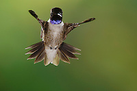 Black-chinned Hummingbird, Archilochus alexandri, male in flight, Uvalde County, Hill Country, Texas, USA, April 2006