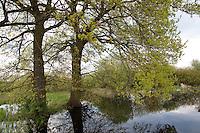 Tümpel, Qualmwasser, Qualmgewässer, Drängewässer, periodisch austrocknender Tümpel, Teich, Laichgewässer für Rotbauchunke und Laubfrosch, Elbe, mit Eichen im Frühjahr