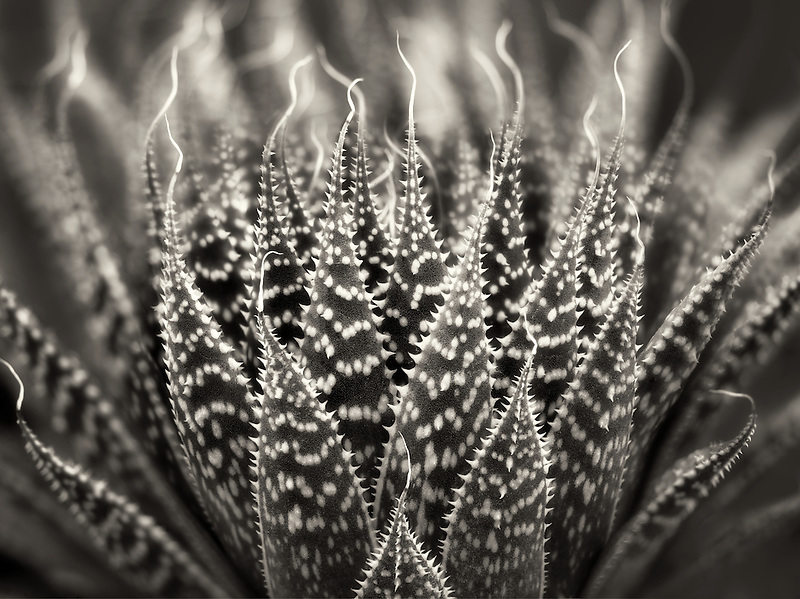 Close up of Zebra/Pearly Dots plant. Oregon