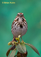 SW01-9003 Song Sparrow Male, Melospiza melodia, © Brian Kuhn/Dwight Kuhn Photography.