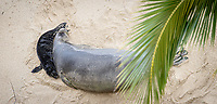 APR 29 Hawaiian Monk Seal, Kaiwi with her 4 day old pup at Kaimana Beach in Honolulu, HI