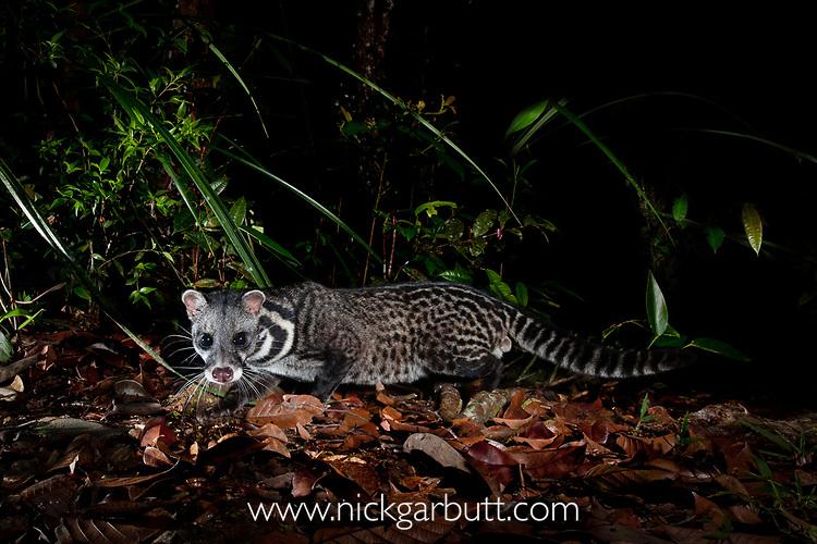 Malay or Oriental civet (Viverra tangalunga) foraging at night on heath forest floor on the southern plateau rim of Maliau Basin, Sabah's 'Lost World', Borneo.