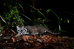 Malay or Oriental civet (Viverra tangalunga) foraging at night on heath forest floor on the southern plateau rim of Maliau Basin, Sabah's 'Lost World', Borneo.