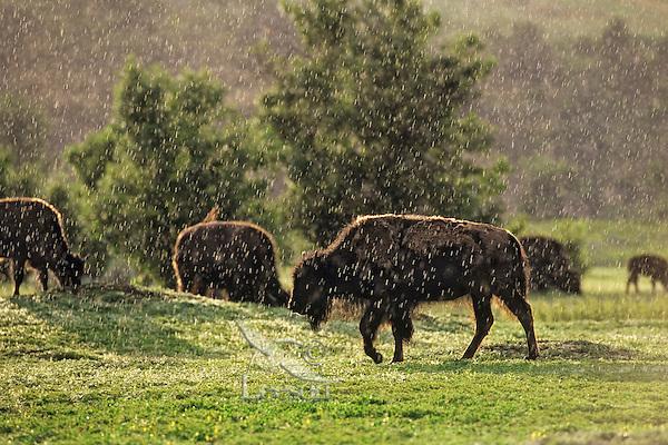 American Bison in summer thunderstorm (raining), Theodore Roosevelt National Park, North Dakota.