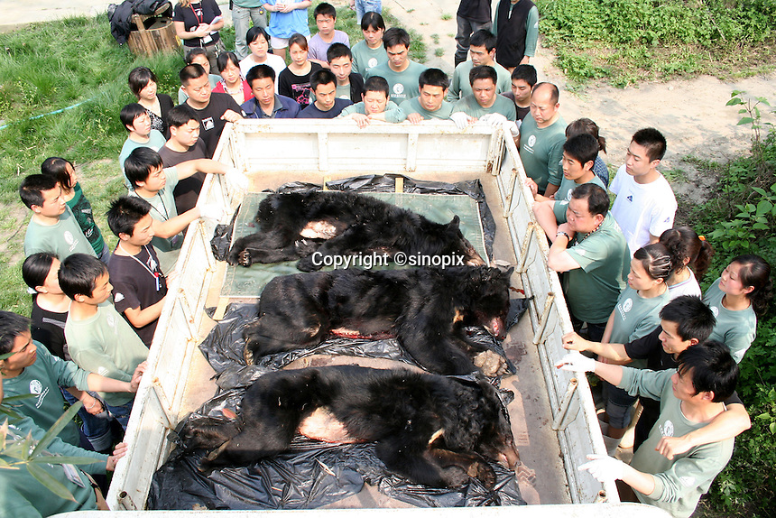 """Three dead bears on the truck in Chengdu, Sichuan, China. The rescue was conducted by Animals Asia Foundation. The foundation rescued 28 """"moon"""" bears from horrendous bea-bile farms in the area. Animals Asia is run and founded by UK national Jill Robinson, M.B.E."""