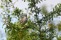 Sperbergrasmücke, Sperber-Grasmücke, Sylvia nisoria, barred warbler, La Fauvette épervière