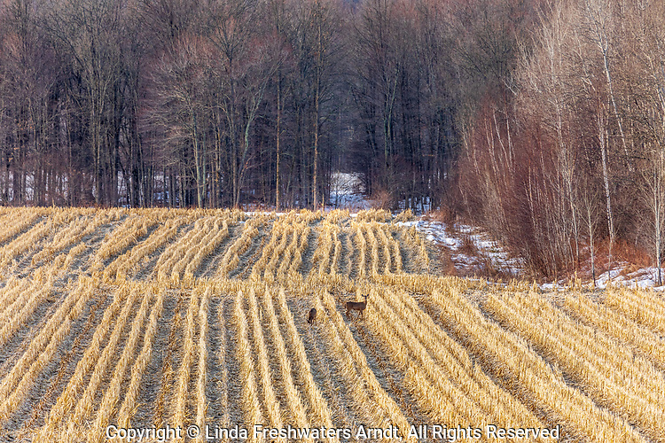 White-tailed deer in a cut cornfield in northern Wisconsin.