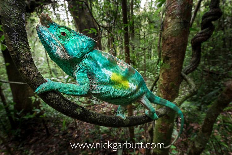Adult male Parson's Chameleon (Calumma parsonii) climbing in rainforest understorey. Andasibe-Mantadia National Park, eastern Madagascar.