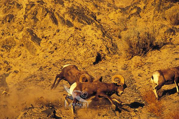 California bighorn sheep (Ovis canadensis californianus) rams fighting during fall mating season.  Western N.A.