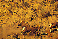California bighorn sheep (Ovis canadensis californianus) rams fighting during fall mating season.  Western N.A.