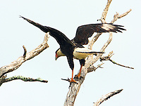 Crested caracara taking off