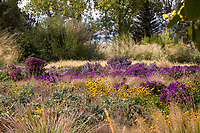 Prairie meadow garden lawn alternative in autumn with Black-eyed Susans, Asters, and Grasses; Scripter garden, Colorado; design Lauren Springer Ogden