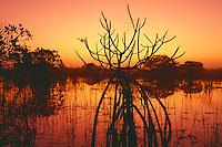Red mangroves near Paurotis Pond<br /> The Everglades<br /> Everglades National Park<br /> Florida