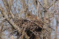 Female Great Horned Owl (Bubo virginianus) on nest. Lawrence County, South Dakota. April.