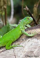 0625-1112  Young Green Iguana (Common Iguana), Belize, Iguana iguana  © David Kuhn/Dwight Kuhn Photography