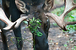 """Bull moose snacking on low growing vegetation.  Bulls typically stop eating for 3-6 months during their rut season, but will """"snack"""" occasionally."""