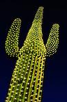 Saguaro cactus with Christmas lights