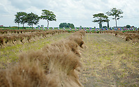peloton aside flax fields<br /> <br /> Eneco Tour 2013<br /> stage 1: Koksijde - Ardooie (175km)