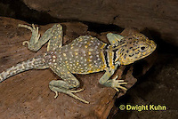 1R17-566z  Collared Lizard, Male, Crotaphytus collaris