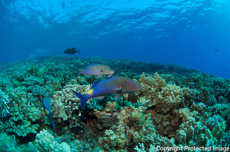 Blue fin Trevally hunting together with bluegoatfish in the waters of Molokini Maui Hawaii.