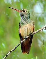 Adult buff-bellied hummingbird