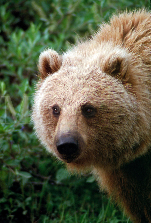 Close up portrait of a brown grizzly bear, intimidation, strength, bears. Alaska U.S.A.