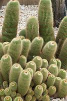 Parodia leninghausii (Lemon Ball, Golden Ball Cactus)