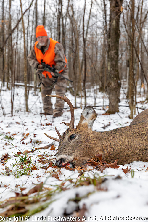 Deer hunter approaches his harvested buck in northern Wisconsin.