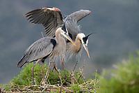 Great Blue Heron (Ardea herodias) pair at nest. Lake County, Oregon. June.