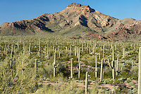 Organ Pipe and saguaro cactus with Tillotson Peak (3225 ft) in Organ Pipe Cactus National Monument, Arizona.  One of the first mountain peaks seen along the Ajo Mountain Drive.