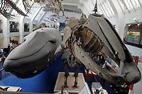 LONDRES-UK-25-05-2013. Ballena disecada y esqueleto en el Museo de Historia Natural, Londes. Stuffed wale and skeleton fossil in the Natural History Museum, London. Photo: VizzorImage
