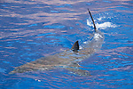 Guadalupe Island, Baja California, Mexico; a Great White Shark (Carcharodon carcharias) breaks the water's surface, exposing it's dorsal fin and tail