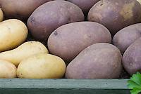 Potato varieties 'Blue Kestrel and a yellow type